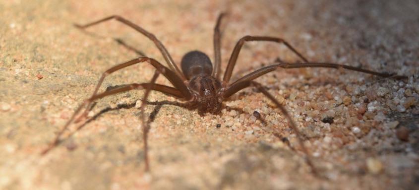Aranha Loxosceles é a espécie que causa acidentes mais graves em adultos no Sul e no Sudeste do país. Veneno pode provocar intensa reação inflamatória com necrose