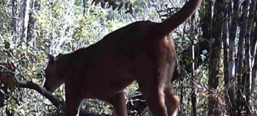 O animal foi flagrado por câmeras do Parque Estadual do Desengano
