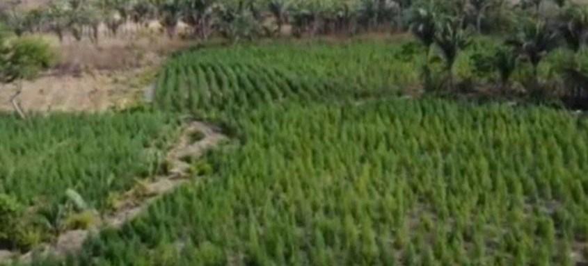 De acordo com a Polícia Civil, a plantação poderia gerar 10 toneladas de maconha processada para venda